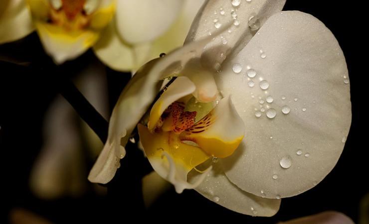 lucidare foglie orchidea