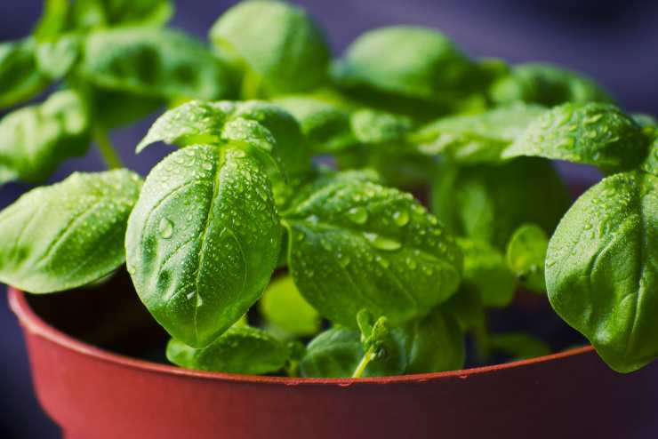 piantare basilico